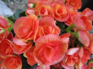 begonia-319355_960_720