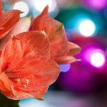 amaryllis-1845858__340